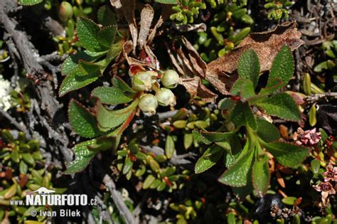 Arctous alpina Pictures, Alpine Bearberry Images, Nature