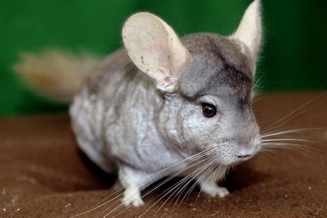 How hard is it to take care of a chinchilla? - Quora