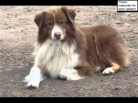 Australian Shepherd Red Tri Blue Eyes Collection Of