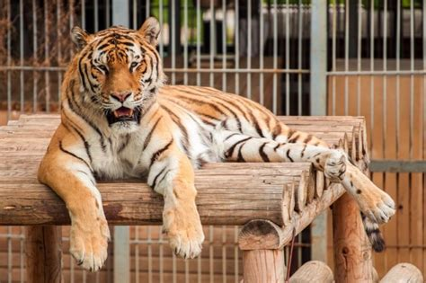 The Most Endangered Tigers in the World   Reader's Digest