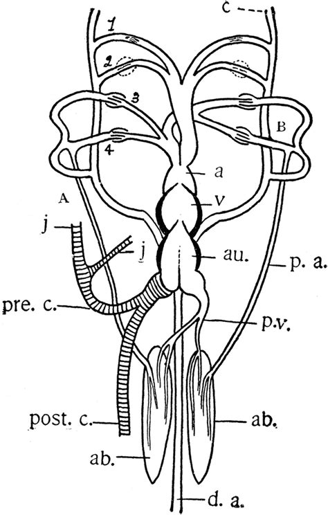 African Lungfish Heart | ClipArt ETC