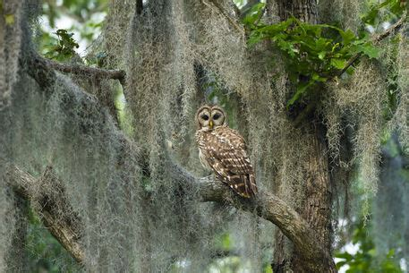 """Barred Owl in bald cypress forest on Caddo Lake, Texas"