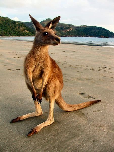 Cape Hillsborough National Park - Kangaroos on the beach