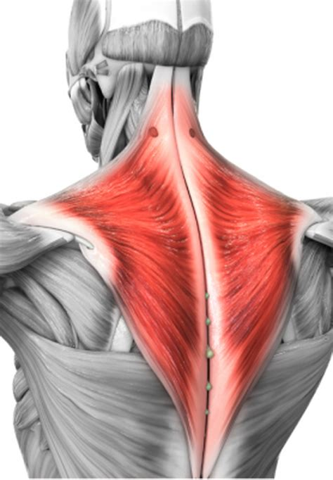 The Trapezius Muscles | The Mint Hill Times