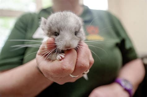 Chinchilla - Dudley Zoological Gardens